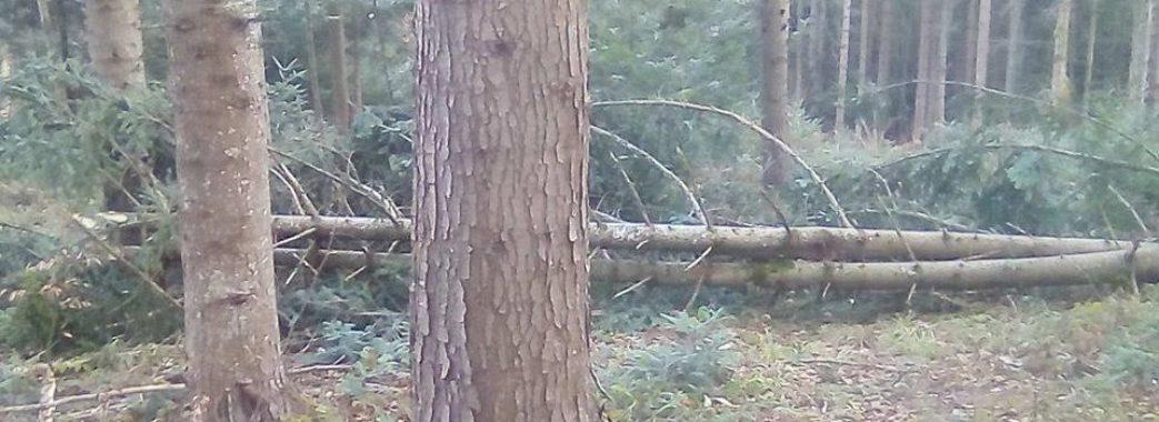 Користають з моменту: поки карантин, на Старосамбірщині розкрадають молодий ліс