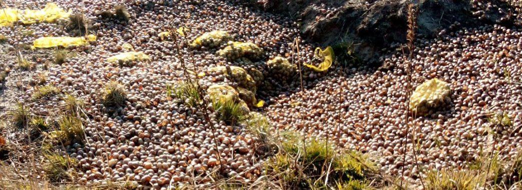 «Сморід, як на костомельному»: у лісі поблизу Жовкви викинули тисячі мертвих равликів (Відео)