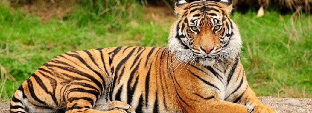 У тигриці в зоопарку Нью-Йорка діагностували COVID-19