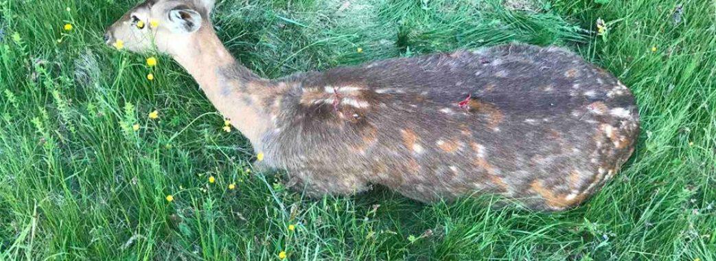 На Миколаївщині застрелили вагітну олениху