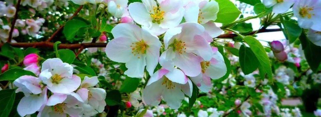 Можуть постраждати яблуні та груші: як весняна негода вплине на урожай