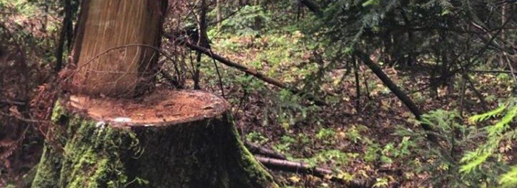 Через зламану сосну на Жовківщині загинув 26-річний чоловік