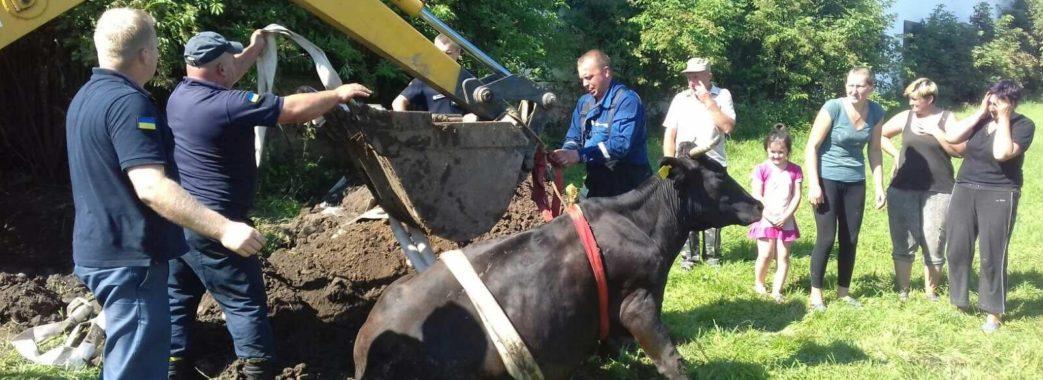 На Перемишлянщині у каналізаційну яму провалилася корова