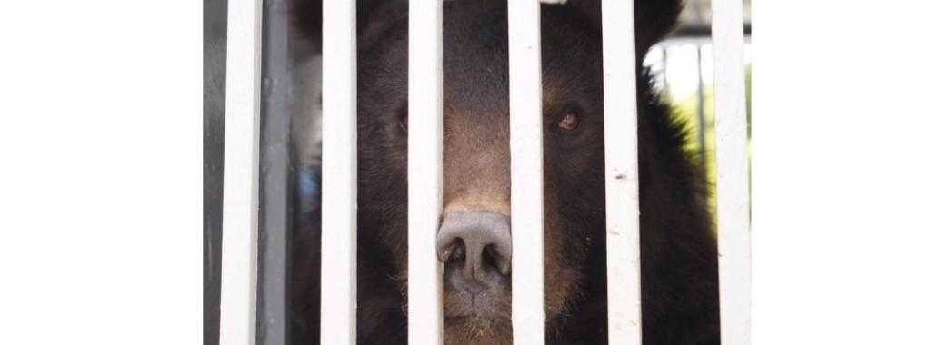 """У притулку """"Домажир"""" поселяться двоє нових ведмедів"""