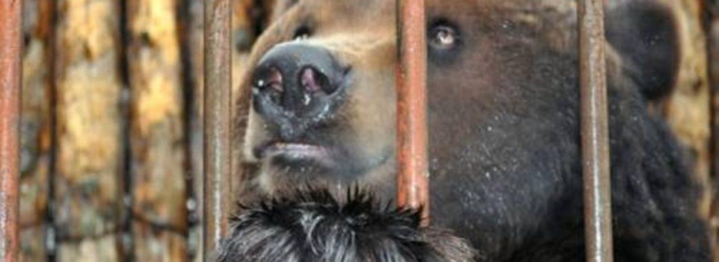 Некастрований та у тісній клітці: власники готелю на Стрийщині знущаються над ведмедем