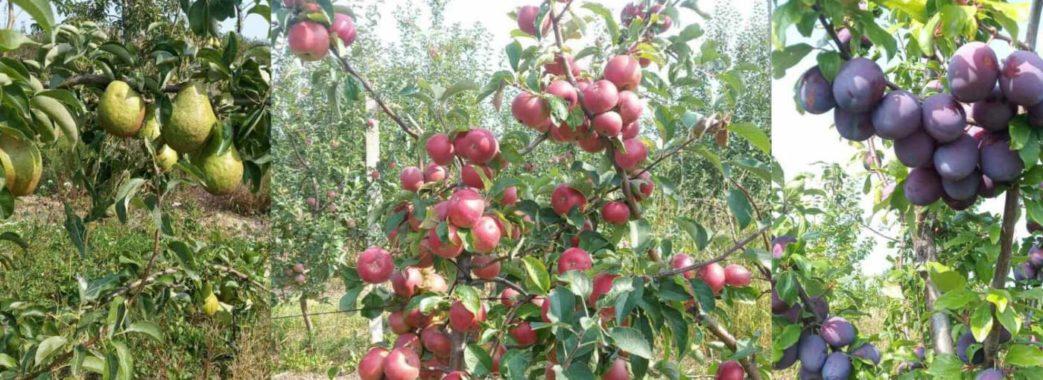 На Старосамбірщині Ігор Чорнобров  у власному саду посадив 10 тисяч фруктових дерев
