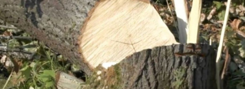На Самбірщині за зрізаний дуб чоловік може сісти на 3 роки до тюрми