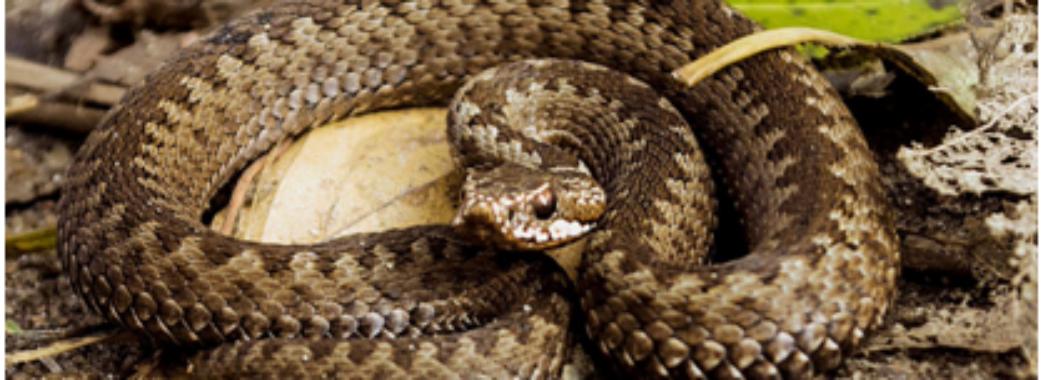 Вперше цього року: на Сколівщині 39-річний чоловік через укус змії опинився у реанімації