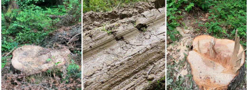 «На квадратному кілометрі десятки пеньків»: на Самбірщині виявили нову масову рубку (ВІДЕО)